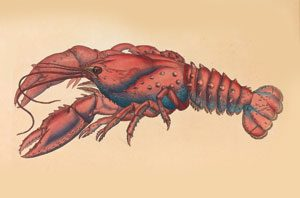 James_Sowerby_-_Serrated_Lobster,_Cancer_serratus_-_Google_Art_Project